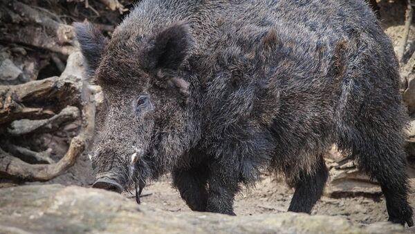 Wild Boar - Sputnik International