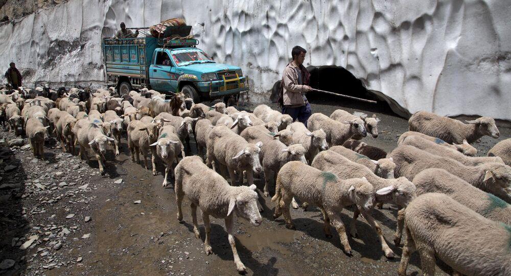 A Kashmiri Bakarwal leads his cattle near Dubgan, 70 kilometers (43 miles) south of Srinagar, India (File)