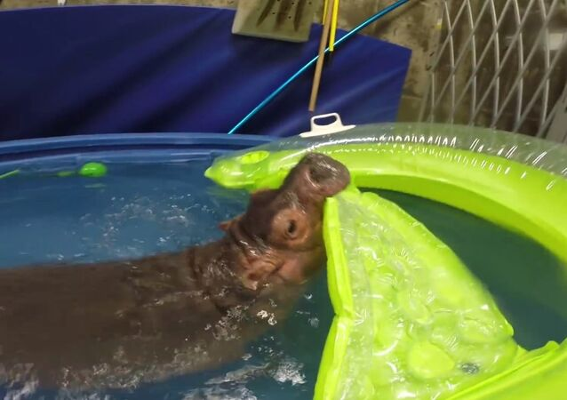 Baby Hippo Fiona in her Exercise Pool at Cincinnati Zoo