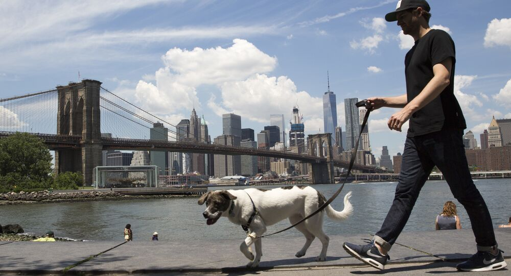 A dog goes for a walk in Brooklyn Bridge park, Thursday, June 30, 2016, in New York.