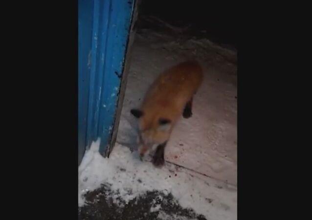 ZOMBIE FOX BITES THROUGH FRONT DOOR IN RUSSIA
