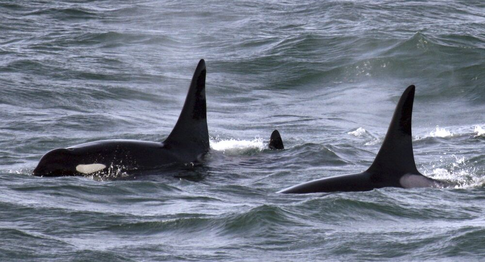 An orca whale swims with other whales in the Pacific Ocean near the mouth of the Columbia River near Ilwaco, Washington