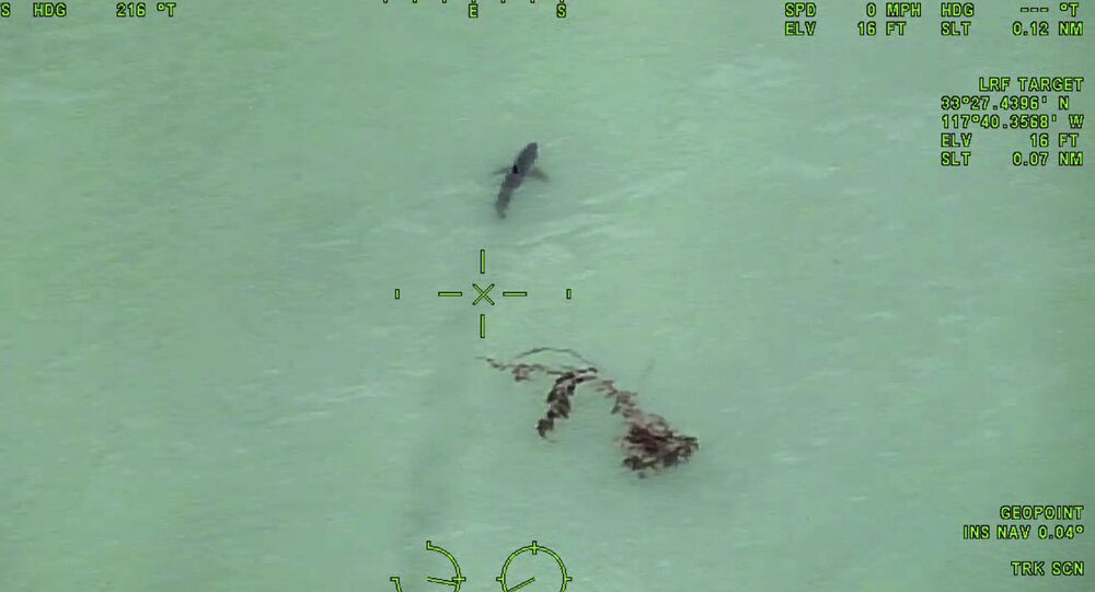 In this Wednesday, May 10, 2017 still image taken from video provided by the Orange County, Calif., Sheriff's Department, a great white shark is seen swimming off the coast of Dana Point, California.