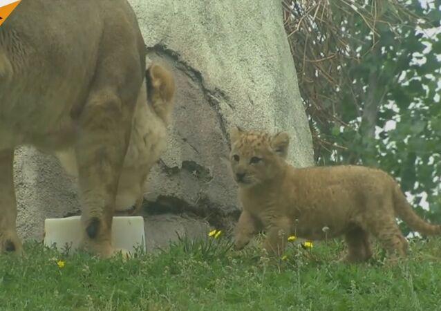 A Cute Lion Cub From Dallas Zoo