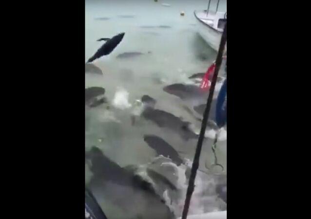 Feeding giant piranhas