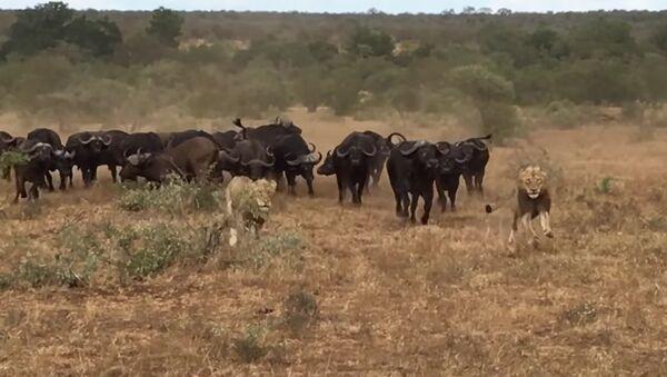 Buffaloes Try Saving Buffalo From Hunting Lions - Sputnik International