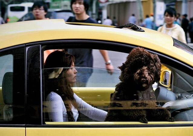 A Chinese woman drives her car through traffic as her dog looks out of the passenger window in Shanghai (File)