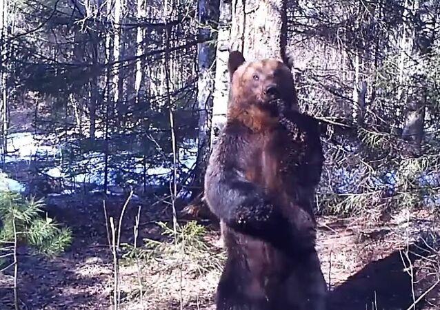Bear's sexy dance