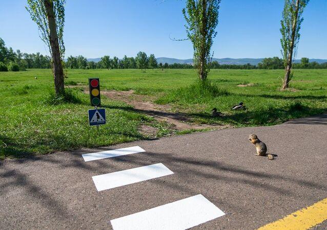 Crosswalk for marmots