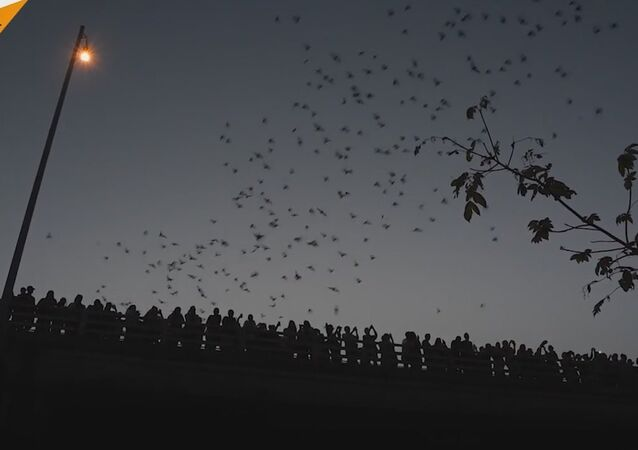 Thousands Of Bats Flying From Under Congress Avenue Bridge