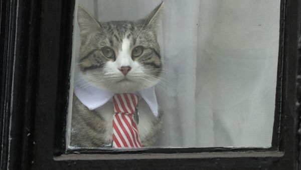 A cat dressed with a collar and tie looks out from a window of the Ecuadorian embassy in London - Sputnik International