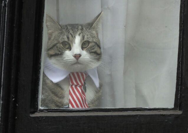 A cat dressed with a collar and tie looks out from a window of the Ecuadorian embassy in London