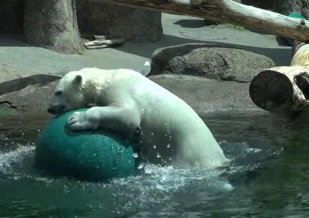 Polar bear Nora has a ball