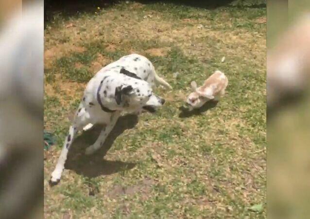 Brave Rabbit Chases Dalmatian Around Garden