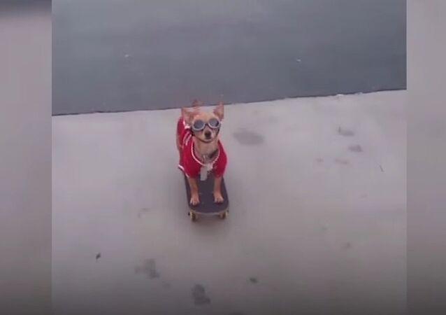 Skating Chihuahua