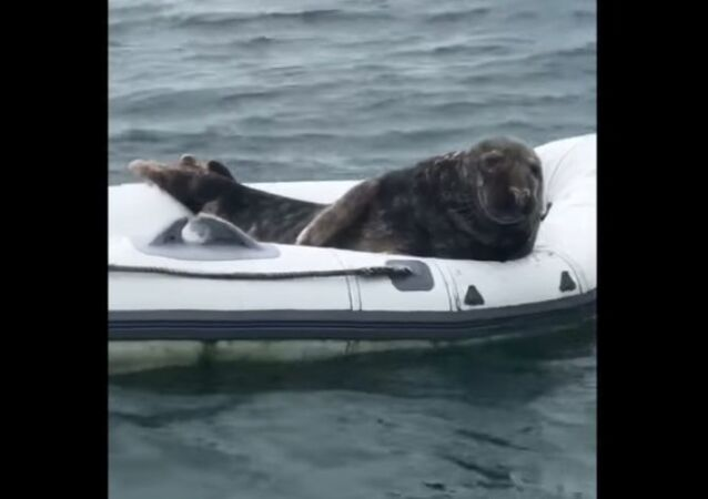 Cheeky Seal Lounges Around Inside Rubber Boat