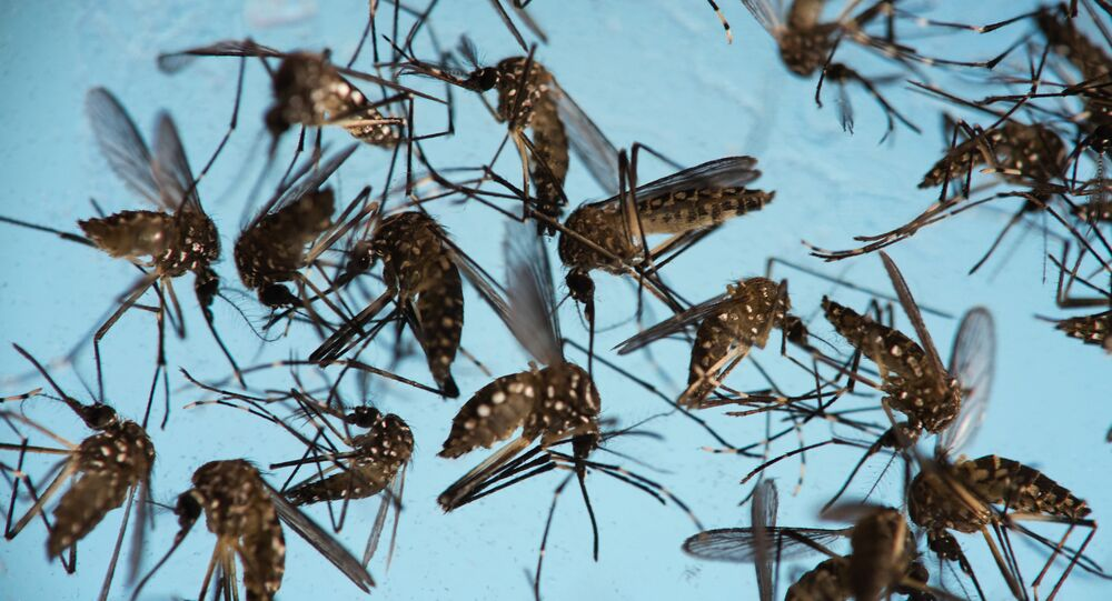 In this Sept. 29, 2016 photo, Aedes aegypti mosquitoes, responsible for transmitting Zika, sit in a petri dish at the Fiocruz Institute in Recife, Brazil.