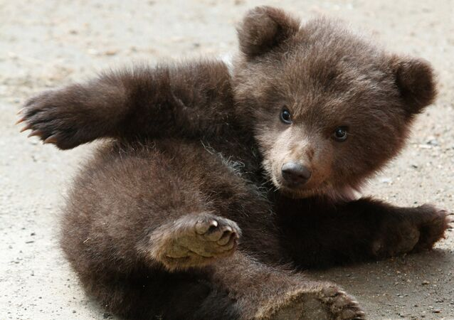 Bear cub at zoological corner of Victory Park