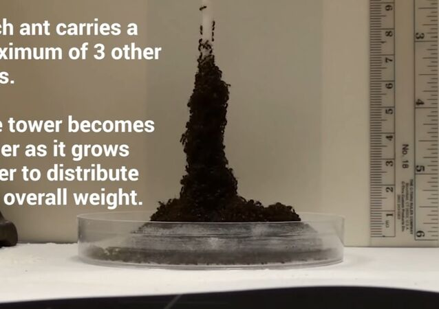 Ants Create Sinking, Eiffel Tower-Looking Structures