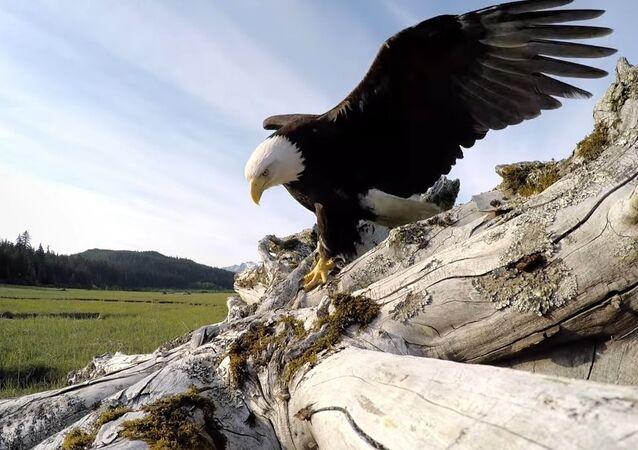 GoPro Awards: Eagle Steals GoPro