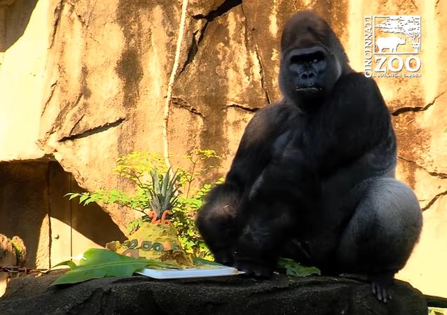 Jomo The Gorilla Celebrates His 26th Birthday
