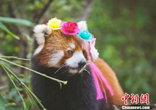 Cute Red Panda Photos Posted to Promote Animal Care