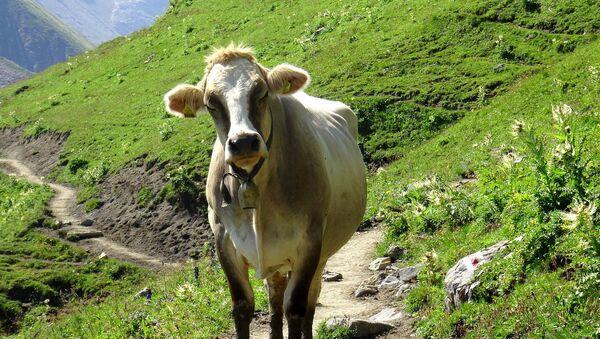 Austrian cow - Sputnik International
