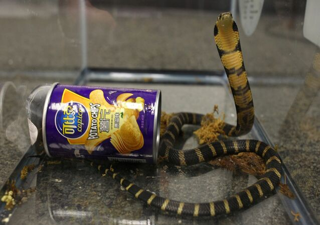 A king cobra snake seen coming out of container of chips in this undated handout photo obtained July 25, 2017.