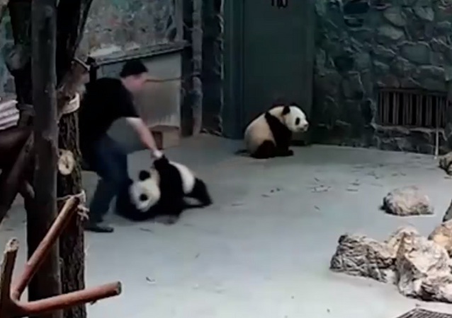 Panda Fights Back After Handlers Slams, Drags Them