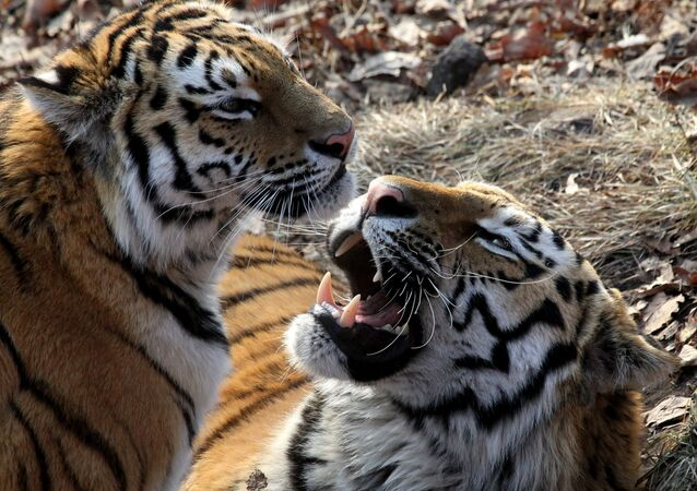 One-year-and-eight-months-old sibling Amur tigers, named Amur, right, and Taiga, in the Primorye safari park. (File)