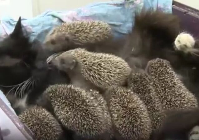 Cat Adopts Eight Baby Hedgehogs