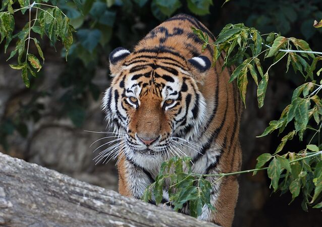 Siberian tiger called Umar at Moscow Zoo. (File)