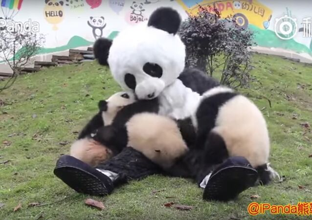 Keeper wears panda costume to interact with cubs to protect them from human attachment