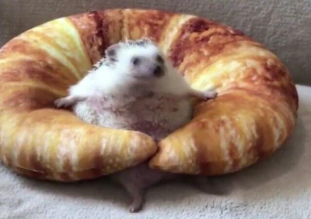 Hedgehog struggling on a croissant cushion