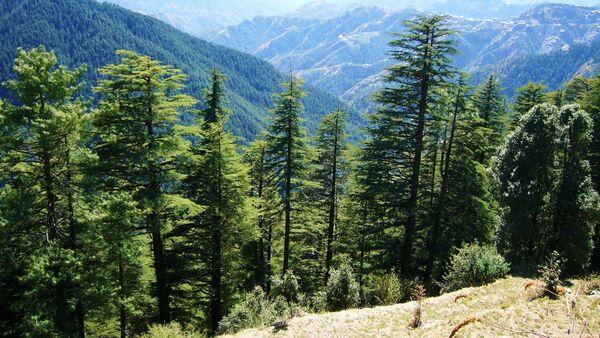 Himalayan cedar - Sputnik International