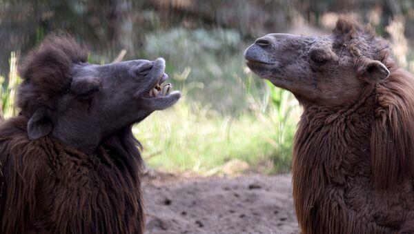 Bactrian camels. (File) - Sputnik International