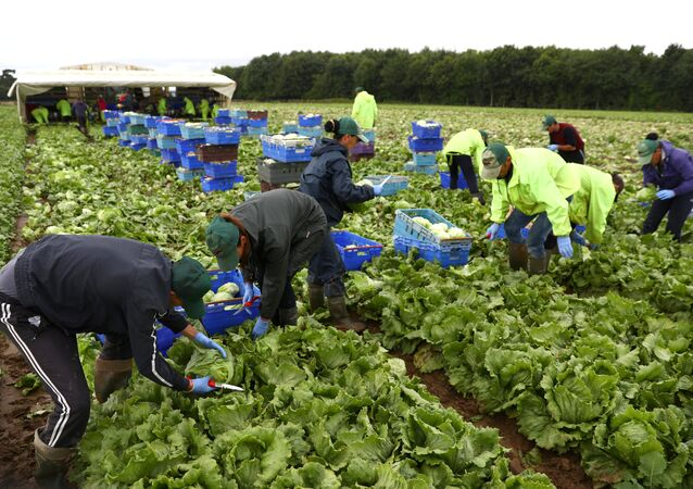 Migrant workers pick lettuce on a farm in Kent, Britain July 24, 2017. Picture taken July 24, 2017