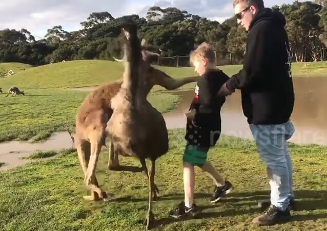 Kangaroo punches boy in the face