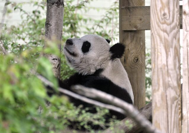 Tian Tian ('sweetie') the female Giant Panda at Edinburgh Zoo