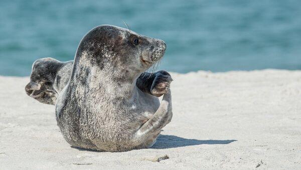 Grey seal - Sputnik International