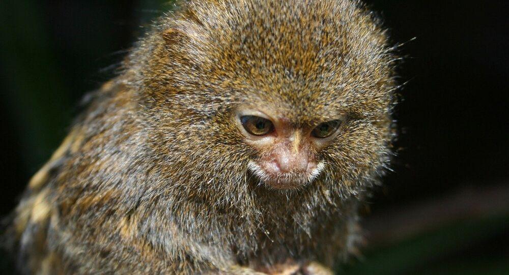A pygmy marmoset, the world's smallest monkey.