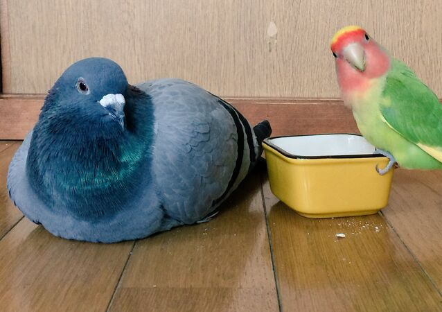 Pigeon and parrot