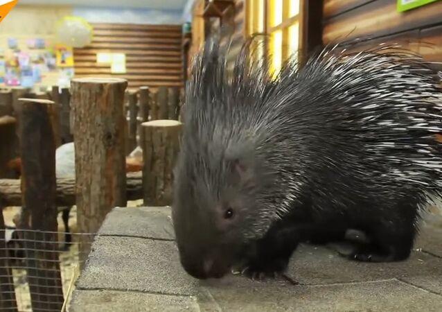 Friendliest Porcupine In The World