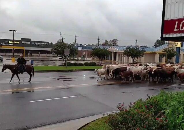 Hurricane Harvey Cattle Drive