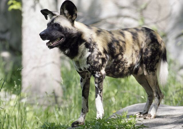 Thunder, one of four African wild dogs on display at Roger Williams Park Zoo in Providence, R.I., is shown Thursday, May 24, 2007.