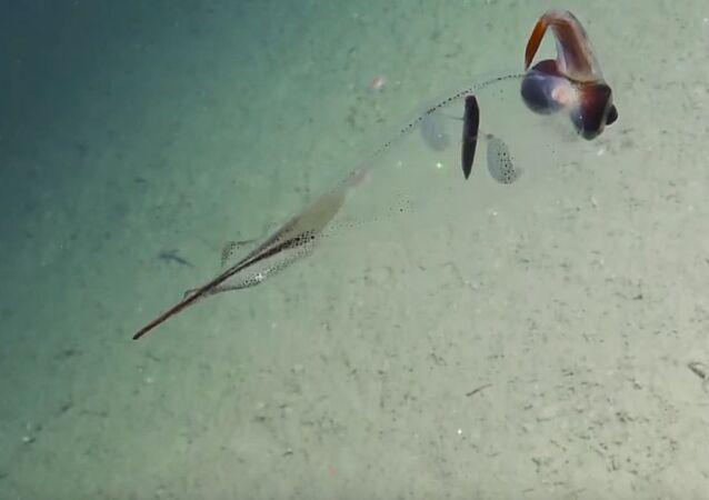 Translucent Cockatoo Squid Flutters