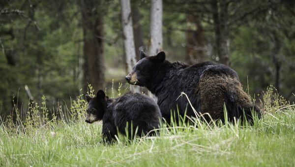 Black bears - Sputnik International