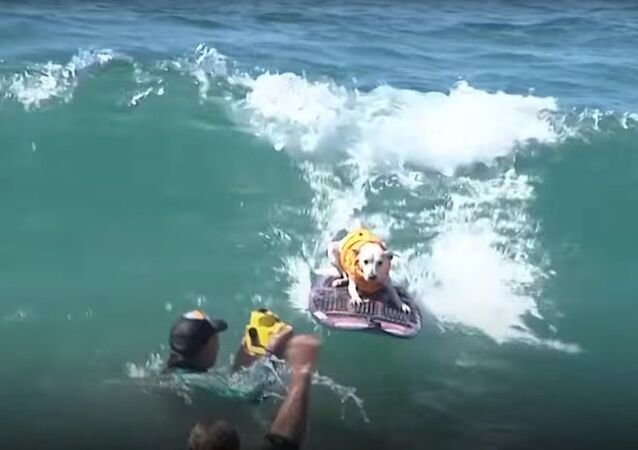 Dog Surfing Competition