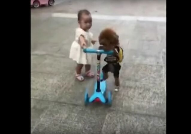 Plucky poodle steals scooter from toddler and rides away