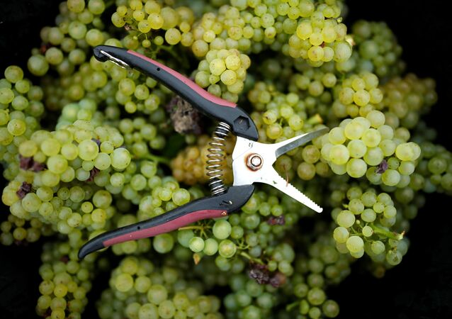 Collected grapes are seen with a pair of secateur in a box at the Domaine Pinson vineyard during the Chablis wine harvest in Chablis, France, September 5, 2017.